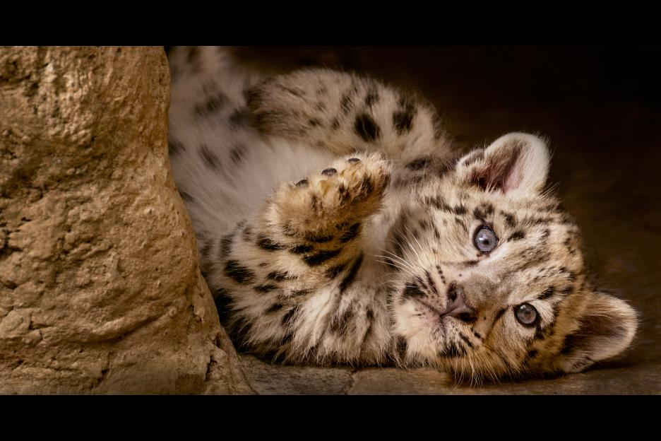 Born in China Snow Leopard