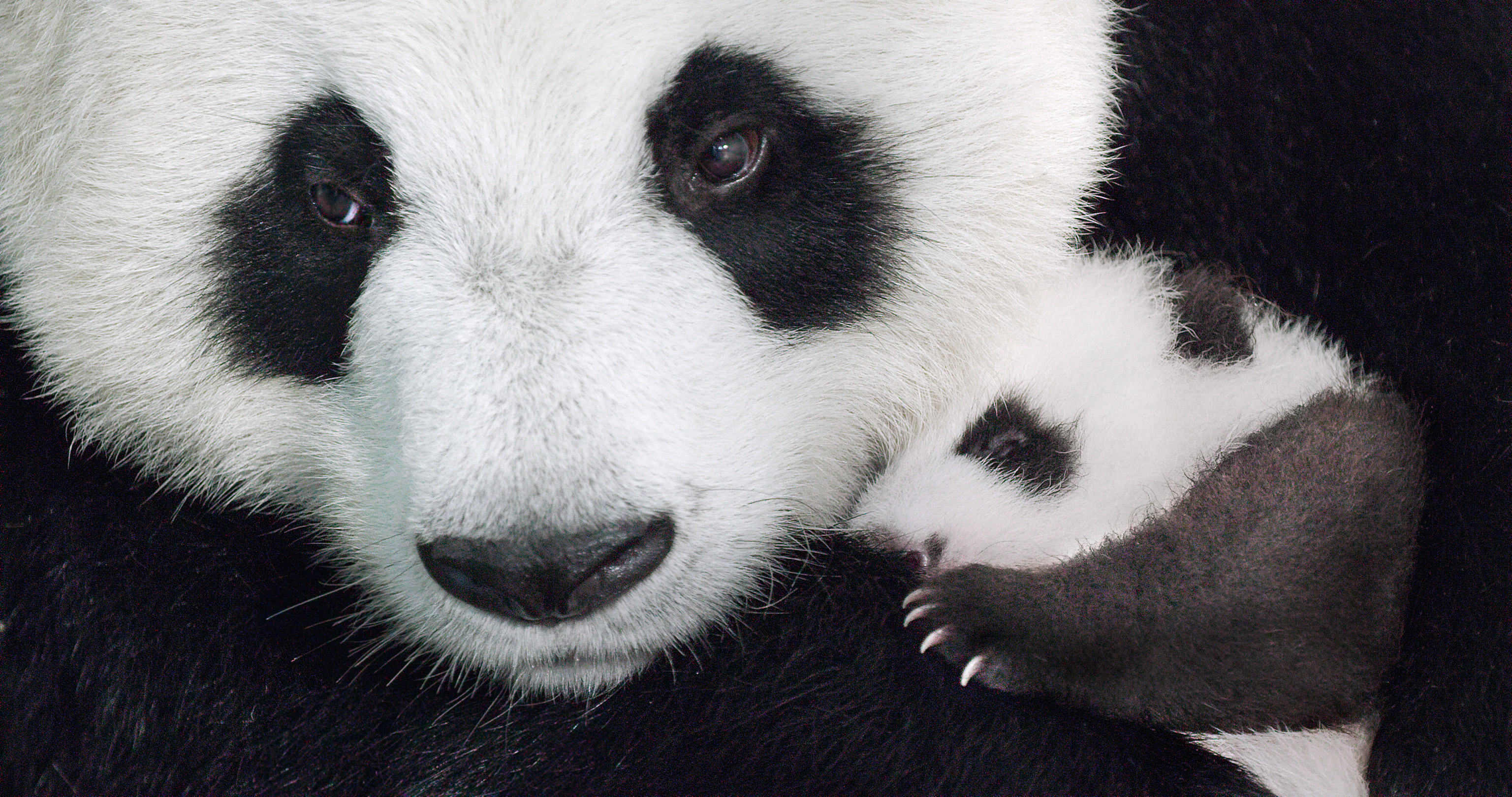 Born in China Giant Panda YaYa and cub MeiMei